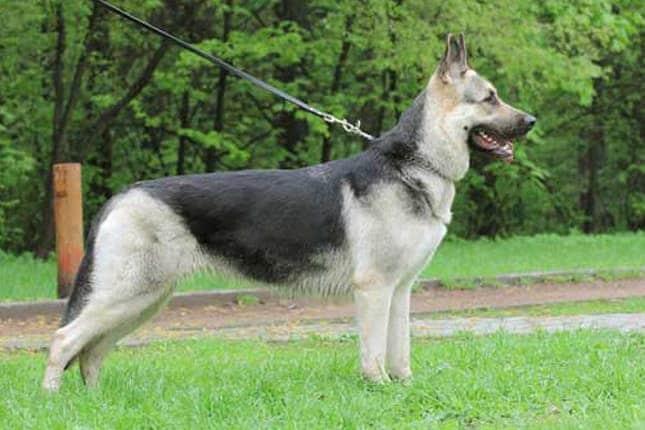 Hundförsakring till East European Shepherd